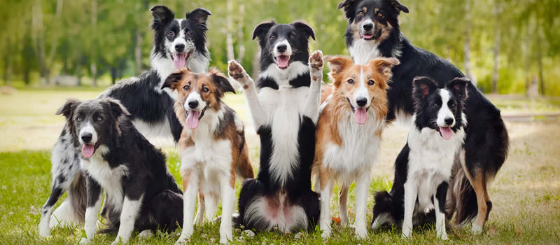 Border Collie - La razza più intelligente al modno